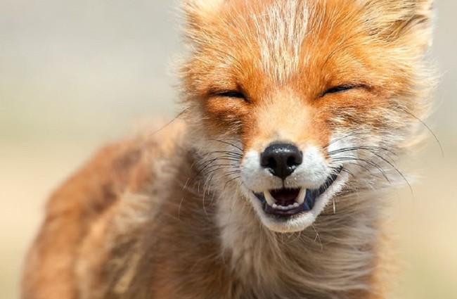 Little Fox Smiling